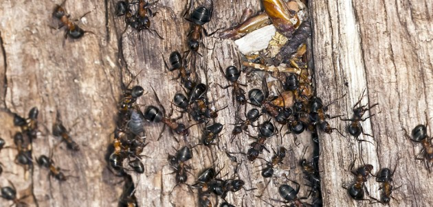 Ants contaminate food in businesses and homes