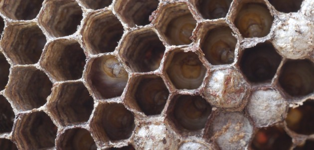 Wasp control and wasp nest removal