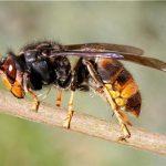 Wasp Control Fife