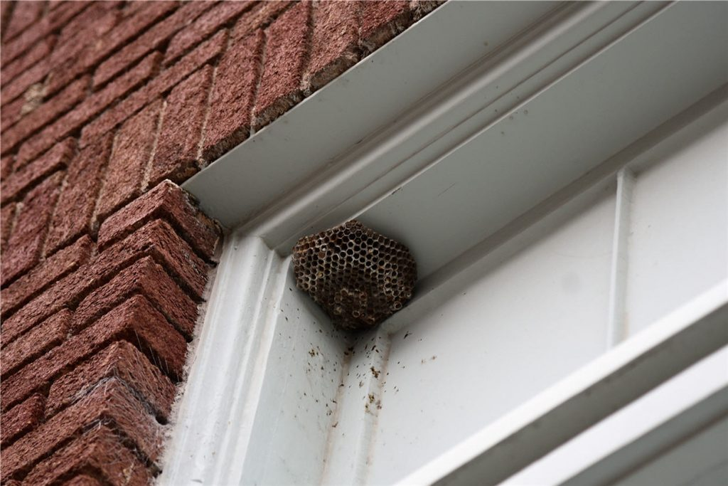 wasps nest in window