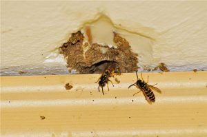 wasps nests behind brick work
