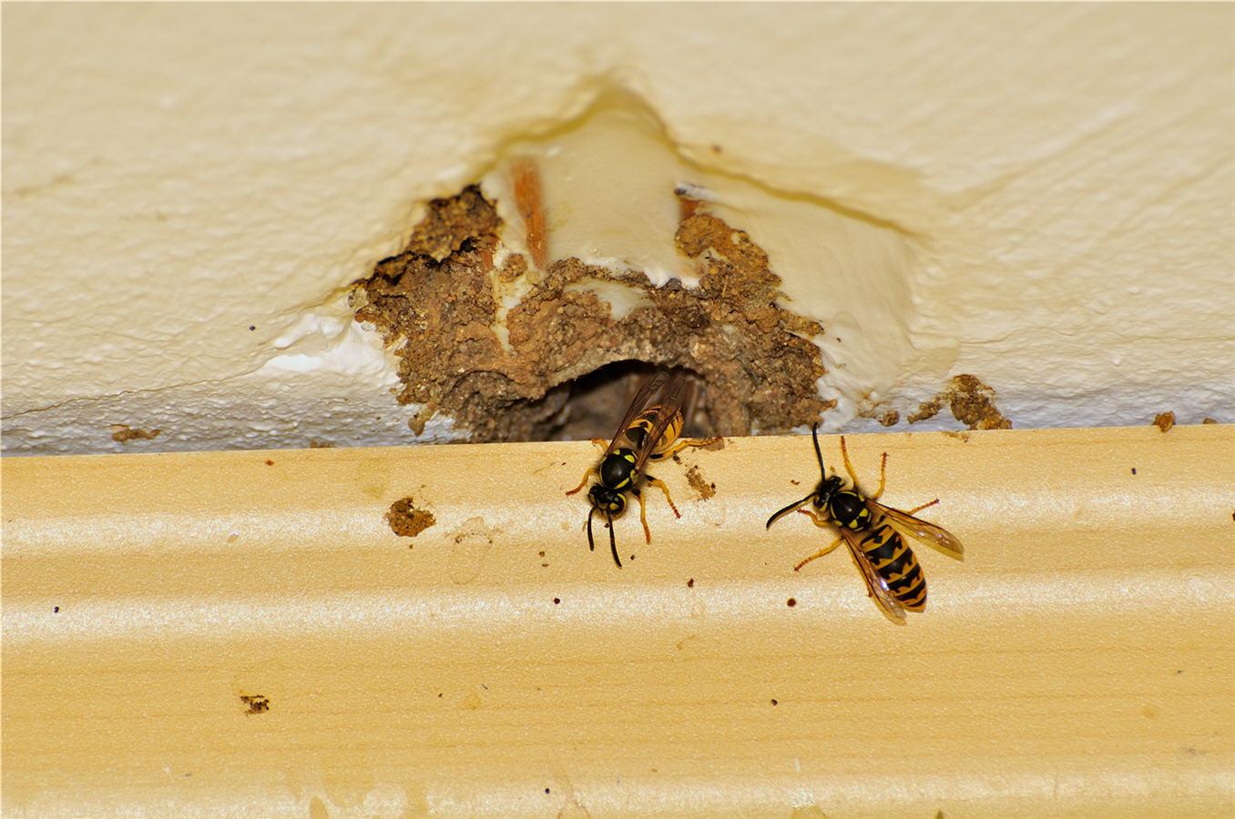 wasps penetrate brick work