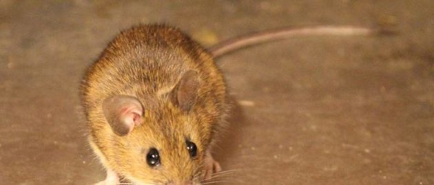 Mice Deterrent Services Fife