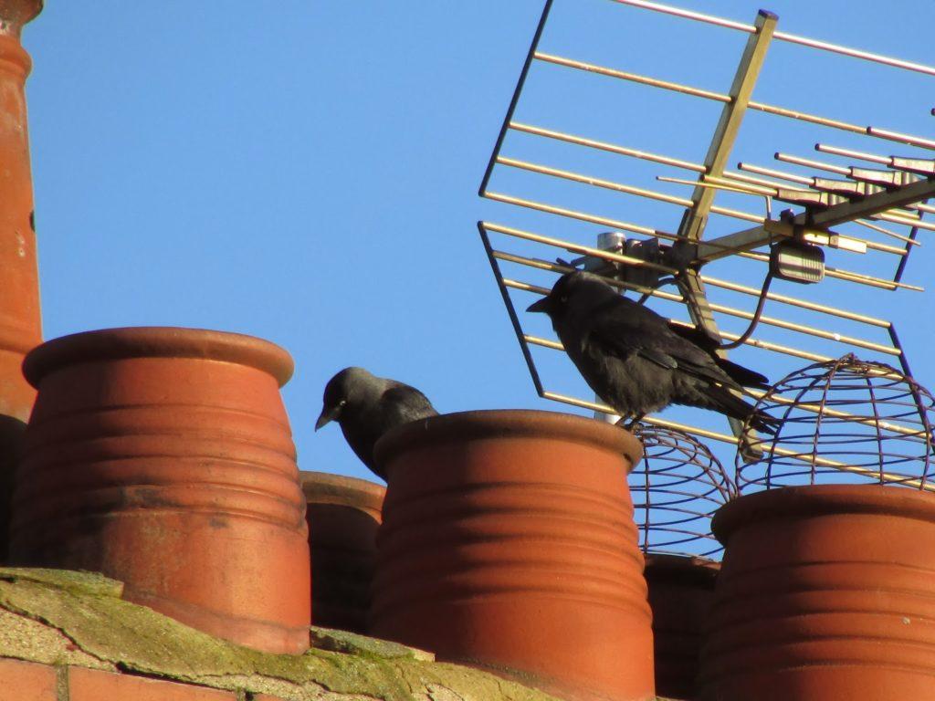 Birds nesting chimney