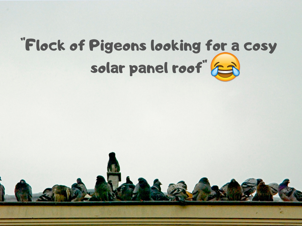 Have Pigeons Moved In Under Your Solar Panels?